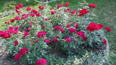czerwono różowa rabata różana