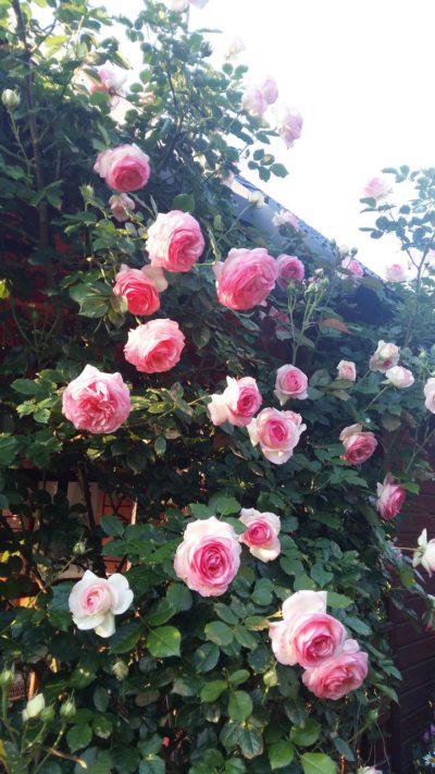 francuskie róże parkowe eden rosse
