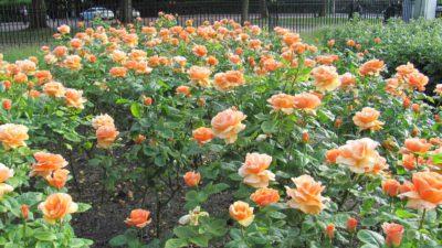 heart of gold wysoko wyśrodkowane hybrydowe kwiaty herbaciane z brązowego brzoskwiniowego koloru