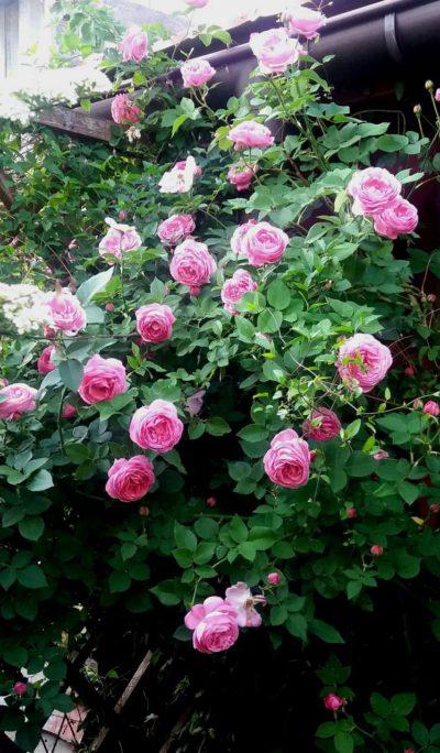 louise odier róże historyczne