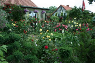 najpiękniejsze róże ogrodowe