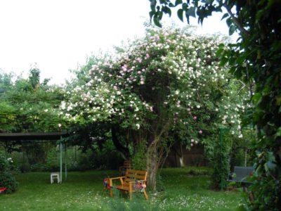 ogromna róża pnąca