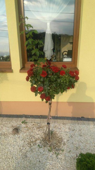róża pienna czerwona