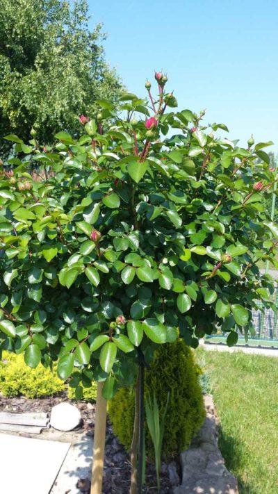 róża pienna w ogrodzie