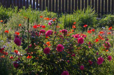 róża pnąca rosarium