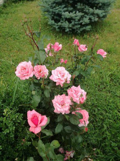 róża wielkokwiatowa carina