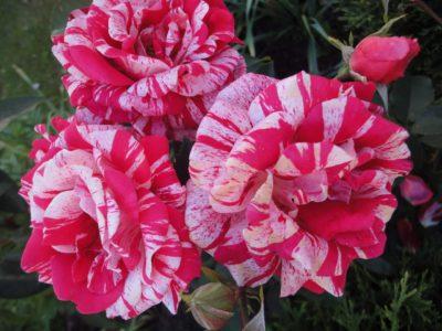 róża wielkokwiatowa papageno