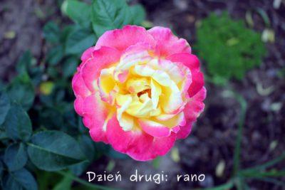 róża wielobarwna
