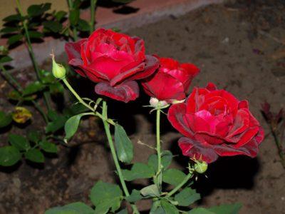 róże czerwono bordowe