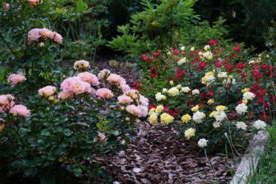 róże miniaturowe odmiany