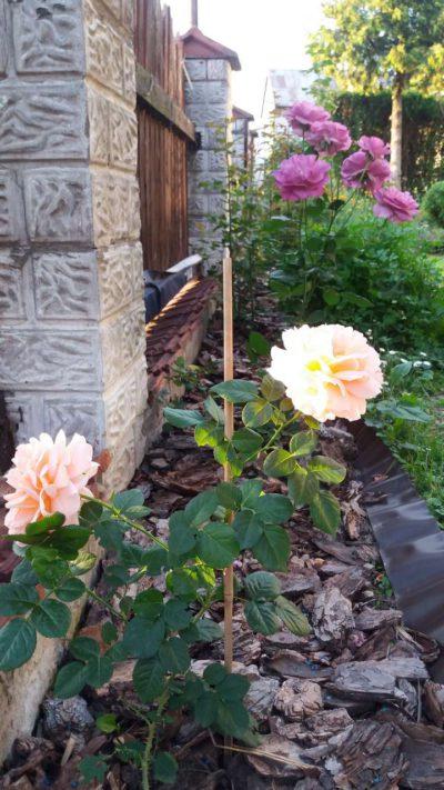 róże ogrodowe pielęgnacja