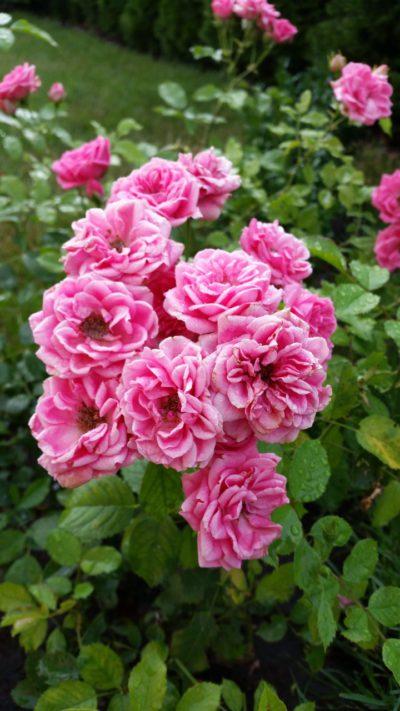 róże parkowe elmshorn