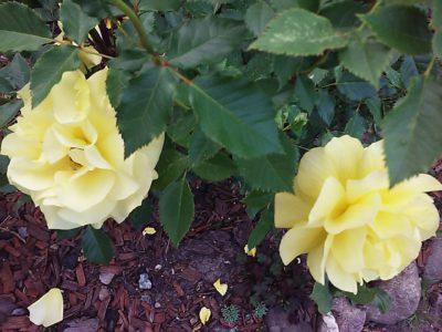 róże rabatowe frezja