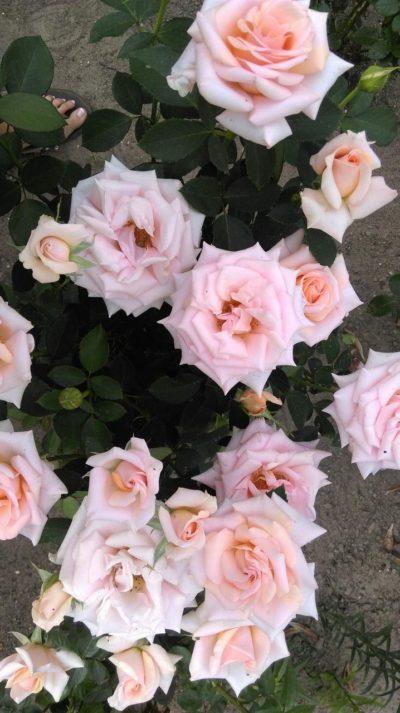 róże wielkokwiatowe warm wishes