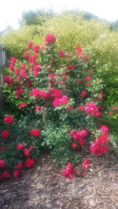 różowa róż pnąca
