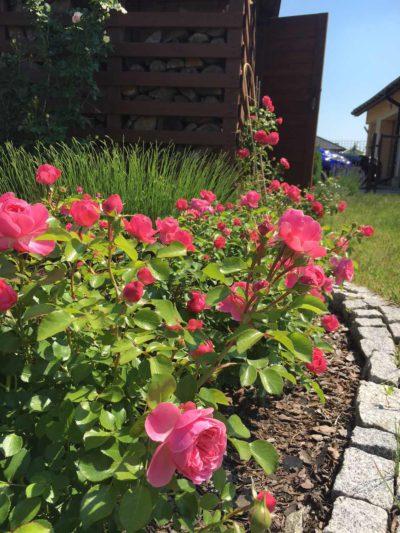 różowe róże rabatowe