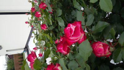 wielobarwna róża pienna monaco