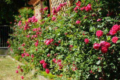 aleksander mackenzi róże krzaczaste
