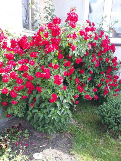 blaze superior czerwone róże pnące