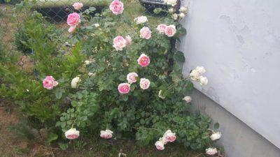 cesar róża parkowo pnąca
