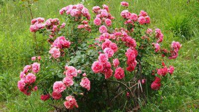 elmshorn wyjątkowo odporna róża parkowa