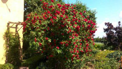 flammentanz czerwona róża pnąca