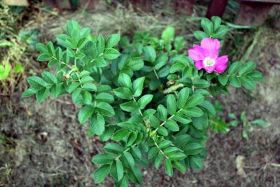 hansa rosa rugosa odporne róże krzaczaste