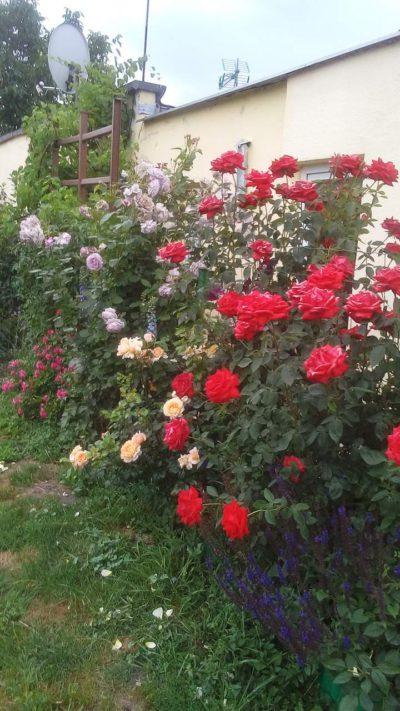 kompozycja róż pnących