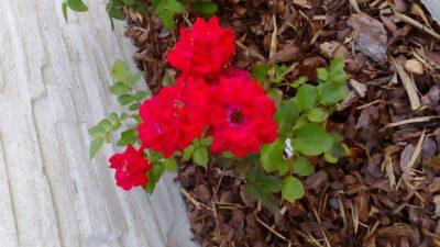 nina czerwona róża rabatowa