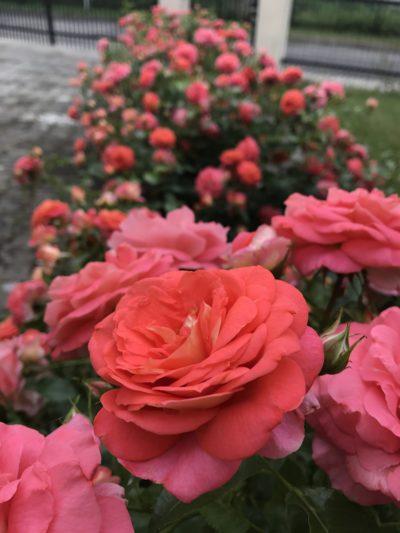 piękna rabata różana