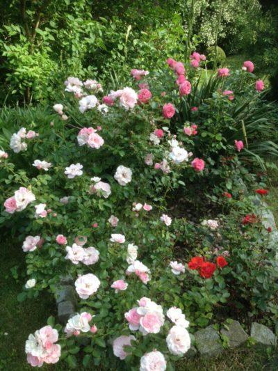 rabata różana bonica oraz leonardo da vinci