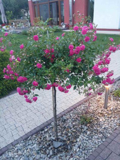 róża pienna super excelsa