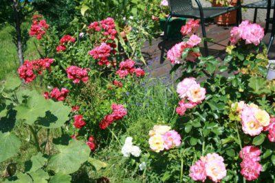 róże kwiaty zdjęcia
