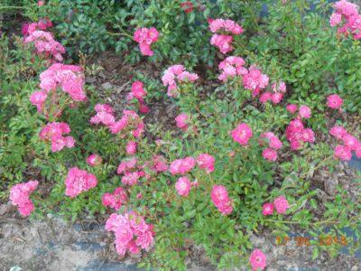 róże okrywowe lovely fairy
