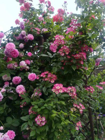 róże pnące sklep internetowy
