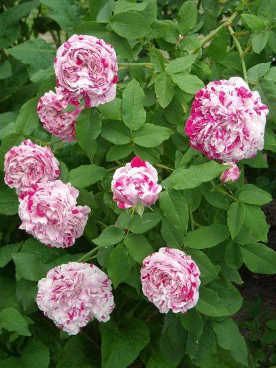 variegata di bologna róża parkowo pnąca