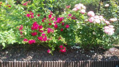 kolekcja różana w ogrodzie