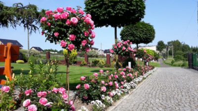 rabata różana róże leonardo da vinci