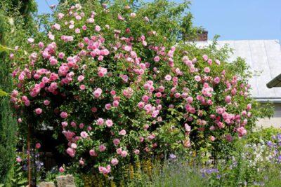 różowa róża pnąca rosarium