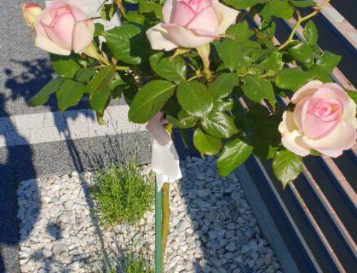 gardynska – róże pienne Eden Rose