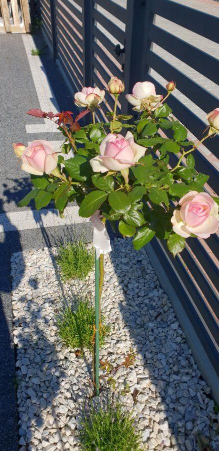 eden rose róże pienne