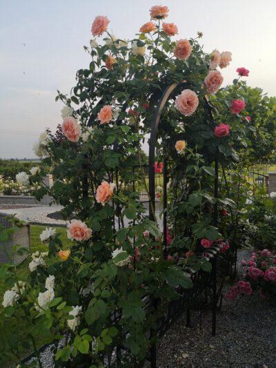 łososio morelowa róża pnąca
