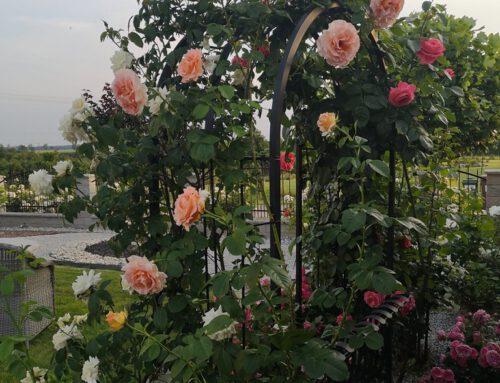 Agnieszka Murzicz Pasłęk – różowe róże rabatowe