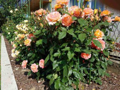 rabata róż wielkokwiatowych