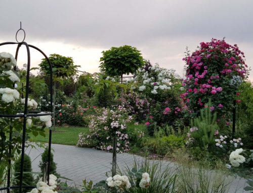 Aleksandra Mika – cudowny ogród różany
