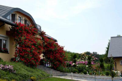 róże pnące czerwone obficie kwitnące