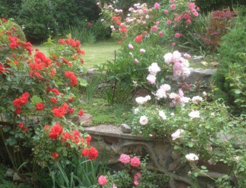agnieszkagrzes – mini rozarium w ogrodzie