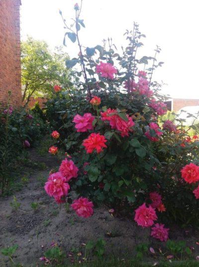 róża wielkokwiatowa chicago peace