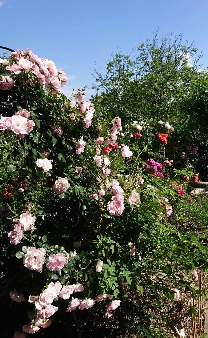 New Dawn róża pnąca