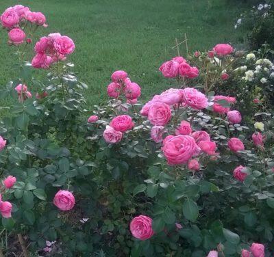 róża rabatowa pomponella
